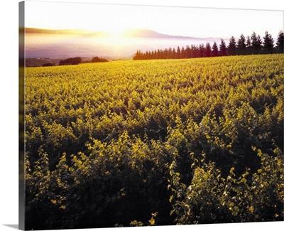 Sloping wine grape vineyard at sunrise