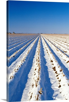 Snow covered field of shredded cotton stalks in mid winter with farm buildings