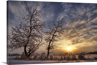Snow Covered Trees Silhouetted By Sunrise On The Alberta Prairies, Canada