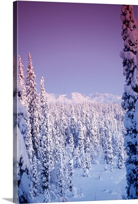 Snow covered trees stand tall in dimming sunlight