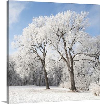 Snow On The Ground And Trees, Winnipeg, Manitoba, Canada