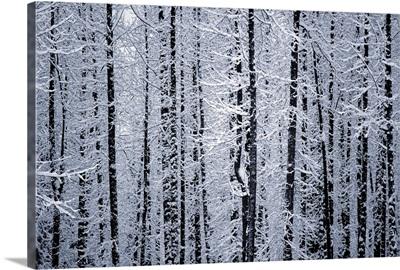Snowcovered Cottonwood Trees Girdwood Southcentral Alaska Winter