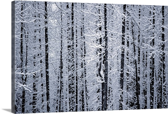 Winter Wall Art snowcovered cottonwood trees girdwood southcentral alaska winter