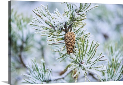 Snowy Scots Pine Cone Hanging On A Branch At Mt. Vapec, Slovakia