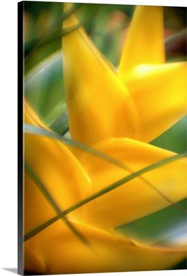 Soft Focus Detail Of Yellow Heliconia Flower On Plant