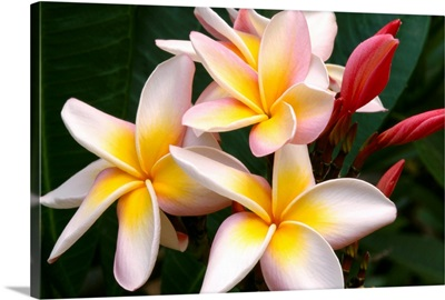 Soft Focus Of White Plumeria Flowers With Pale Yellow Centers