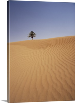 Solitary Date Palm Tree In The Sand Dunes, Tinfou Near Zagora; Morocco, Africa