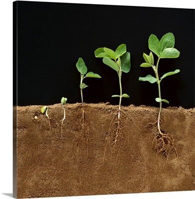 Soybean early growth development stages showing roots