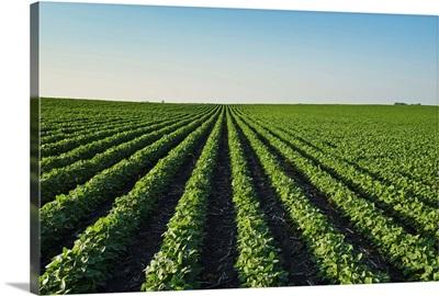 Soybean field in central Iowa