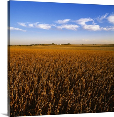 Soybean field, mature and ready for harvest in late afternoon light, Central Iowa