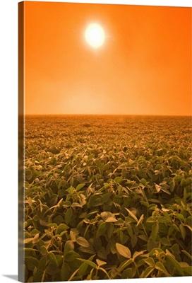 Soybean Field On A Misty Morning, Near Brunkild, Manitoba, Canada