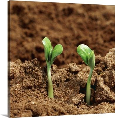 Soybean seedlings, closeup