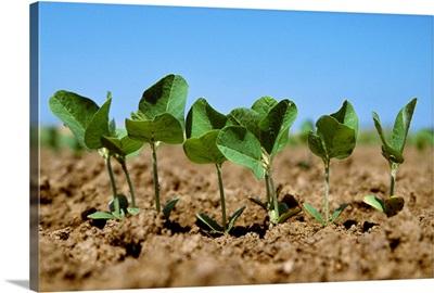 Soybean seedlings, Mid-South