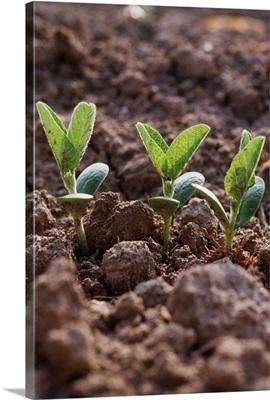 Soybean seedlings, Mississippi