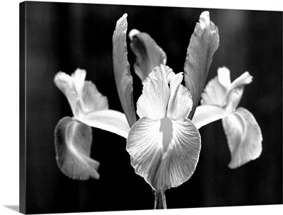 Spanish iris, Close-up of single blossom