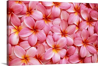 Spread Of Pink Plumeria Flowers Overlapping, Water Droplets