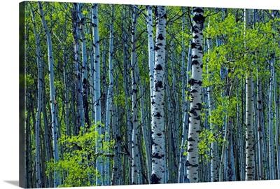 Spring Foliage On Aspen, Jasper National Park, Alberta, Canada