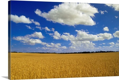 Spring Wheat Field, Tiger Hills, Manitoba, Canada