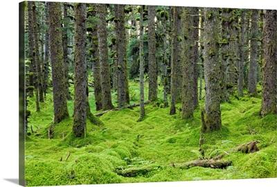 Spruce forest & moss near coast Kodiak Island Southwest Alaska