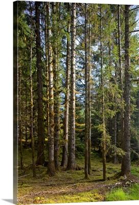 Spruce Tree forest in Autumn, Kodiak Island, Southwest Alaska