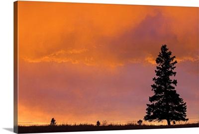Spruce Tree In Sunset, Near Cochrane, Alberta, Canada
