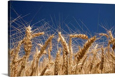 Stalks Of Wheat, Oregon