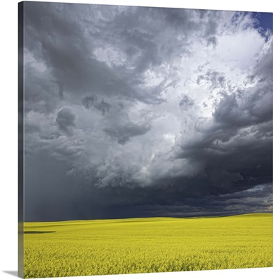 Storm clouds gather over a sunlit canola field in southern Alberta, Alberta, Canada