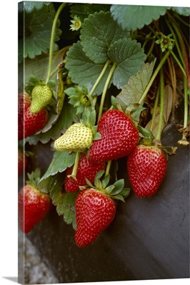 Strawberries on the plants, closeup, Plant City, Florida