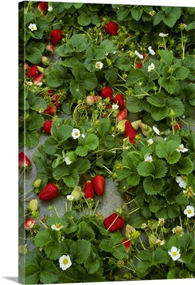 Strawberry plants with a healthy crop of ripe strawberries ready for harvest