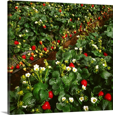 Strawberry plants with a heavy crop of berries, Watsonville, California