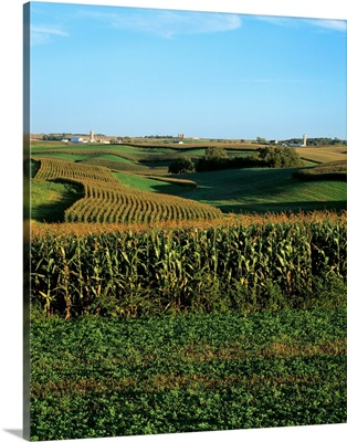 Strip cropping of alfalfa and tasseled grain corn with farmsteads in the distance