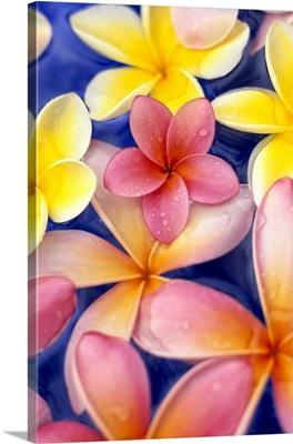 Studio Shot Of Colorful Plumeria Flowers On Blue Background