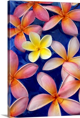 Studio Shot Of One Yellow And Mixed Color Plumeria Flowers