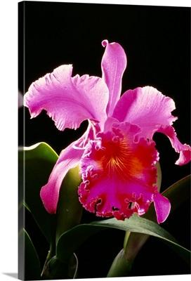 Studio Shot Of Single Purple Cattleya Orchid On Plant