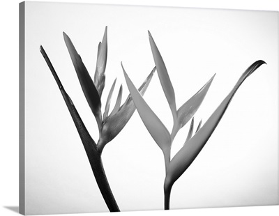 Studio shot of two heliconia on white background