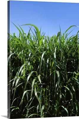 Sudan grass, used for silage and hay, Yuma, Arizona