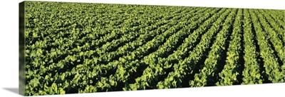 Sugar beet field, Idaho