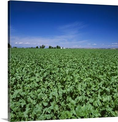 Sugar beet field, Western Idaho