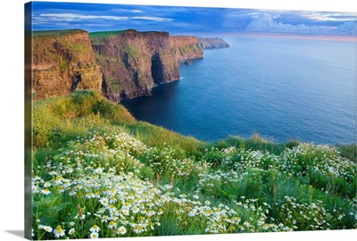 Summer Daisies Growing In Abundance On Cliffs Of Moher, County Clare, Ireland