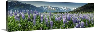 Summer landscape of Lupine flowers along Turnagain Arm, Alaska