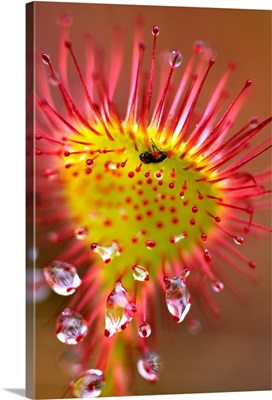 Sundew With Digested Food, British Columbia, Canada