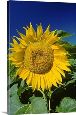 Sunflower Blossom, Altona, Manitoba, Canada