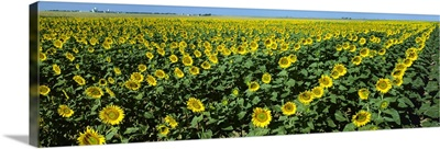 Sunflower field, sunflowers grown for oilseed production