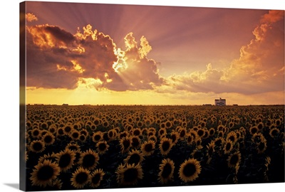 Sunflower Field With Grain Elevator And Dramatic Clouds, Manitoba, Canada