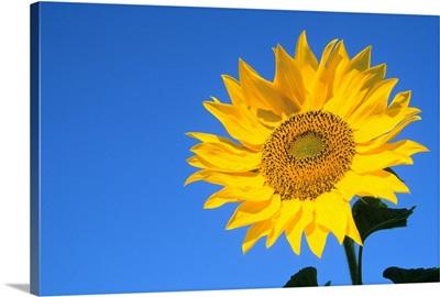 Sunflower, Queens County, Prince Edward Island, Canada