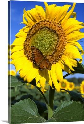 Sunflower with Gulf Fritillary Butterfly