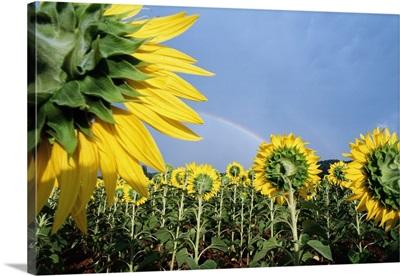 Sunflowers And Rainbow; France