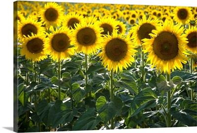 Sunflowers Around San Casciano Dei Bagni, Tuscany, Italy