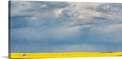 Sunlight on a flowering canola field, Nanton, Alberta, Canada