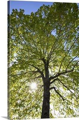 Sunlight Shining Through A Tree, Oregon